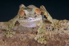 Curious lizard / Uroplatus fimbriatus Royalty Free Stock Image