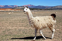 Curious Llama. A curious llama comes over to see what's up stock images