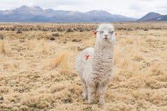 Curious llama with decoration. Cute llamas of Altiplano, Bolivia, South America Stock Images