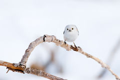 Curious long-tailed tit on a branch Stock Photos