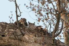A great horned owl feeds a gohper to her owlets. The great horned owl has three owlets to feed and gophers seem to be the preferred meal. She begins hunting just Stock Photos