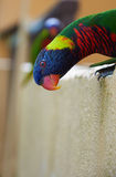 Curious look of colorful trichoglossus Royalty Free Stock Photo