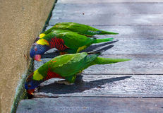 Curious look of colorful trichoglossus Royalty Free Stock Photography