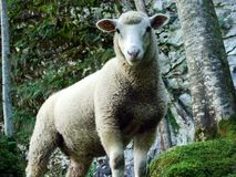 A curious look of sheep in the Alpine forest. Canton of Uri, Switzerland stock photos