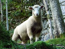 A curious look of sheep in the Alpine forest. Canton of Uri, Switzerland royalty free stock image