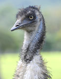 Curious looking australian emu bird, north queensland, australia. Profile head shot close up australian emu curious ostrich looking bird, north queensland Royalty Free Stock Photos