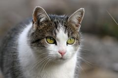 Curious looking cat portrait Stock Photography