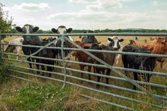 Curious looking Cattle at a farm gate. Stock Photos