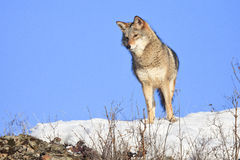 Curious looking coyote. Coyote eyeballing a mouse in the brush Stock Image