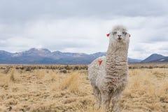 Curious looking llama. Cute llamas of Altiplano, Bolivia, South America Royalty Free Stock Image