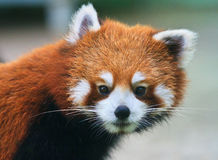Curious looking red panda Stock Photo