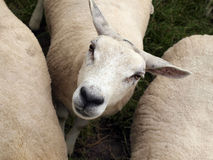Curious looking sheep. Inbetween two other sheep Royalty Free Stock Images