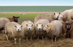 Curious looking sheep Stock Photography