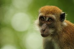 Curious macaque Stock Photo