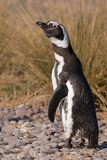 Curious Magellan Penguin in Patagonia Royalty Free Stock Photos