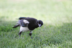 Curious Magpie Royalty Free Stock Image