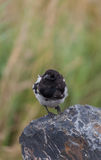 Curious Magpie Perched on Rock Stock Photos