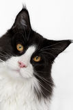 Curious Maine Coon cat with pink nose. On white Royalty Free Stock Photos