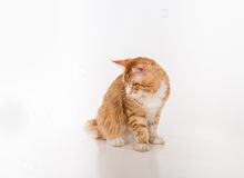 Curious Maine Coon Cat Sitting on the White Table with Reflection. Bubbles in White Background. Royalty Free Stock Image