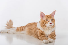 Curious Maine Coon Cat Sitting on the White Table with Reflection. White Background. Looking Right. Royalty Free Stock Photo