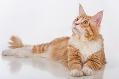 Curious Maine Coon Cat Sitting on the White Table with Reflection. White Background. Looking Up. Stock Photography