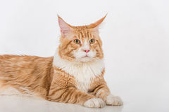 Curious Maine Coon Cat Sitting on the White Table with Reflection. White Background. Looking Up. Portrait. Royalty Free Stock Images