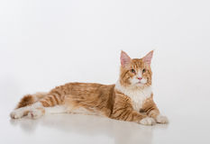 Curious Maine Coon Cat Sitting on the White Table with Reflection. White Background. Looking Up. Portrait. Royalty Free Stock Photography
