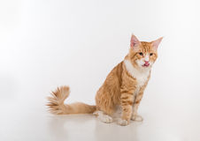 Curious Maine Coon Cat Sitting on the White Table with Reflection. White Background. Open Mouth, Tongue Out. Royalty Free Stock Photography