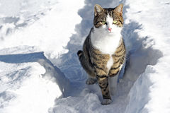 Curious male cat in the snow Stock Images