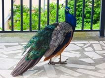 A curious male indian peafowl walking on a porch stock images