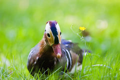 Curious male mandarin duck Stock Photos