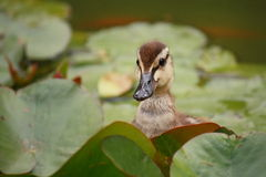 Curious mallard duckling Royalty Free Stock Photo