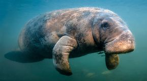 Manatee Flyby royalty free stock images