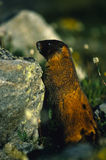 Curious Marmot Royalty Free Stock Images