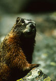 Curious Marmot Stock Photos