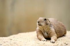 Curious marmot. Funny marmot looking-up curious Stock Photography