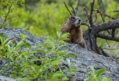 Curious marmot Royalty Free Stock Photo