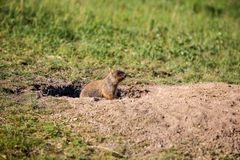 A curious marmot cub looks out of the hole. Field with herbs. Sunny summer day royalty free stock photos