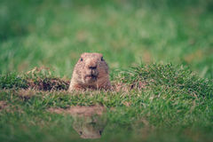 Curious Marmot. A Marmot in a Hole Looking Curiously Royalty Free Stock Photography