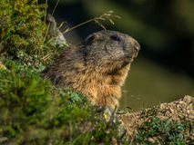 Curious marmot looking out on the Alps - 2 Royalty Free Stock Images