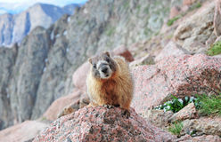 Curious Marmot, Rocky Mountains Stock Images