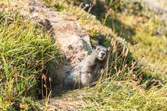 Curious marmot standing outside his den in grass. Looking at the camera Royalty Free Stock Photography
