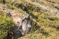 Curious marmot standing up outside his den. Looking at the camera Royalty Free Stock Images