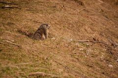 Curious marmot watching out his lair. Stock Photography