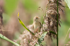 Curious marsh warbler Stock Photo