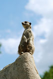 Curious meercat. Meercat sat on a rock checking out the surroundings royalty free stock image