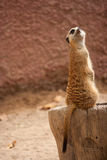 Curious meercat on a tree Royalty Free Stock Photos