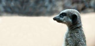 Free Curious Meerkat Royalty Free Stock Photos - 16768228