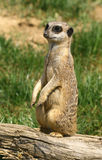 Curious meerkat Stock Photo