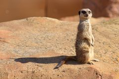 Curious Meerkat royalty free stock photography